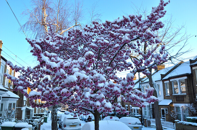 blossom in the snow.jpg